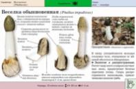Настойка гриба веселка 500 мл