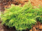 Ялівець середній Олд Голд (Juniperus x pfitzeriana Old Gold), контейнер 1,5л, диаметр 30-35 см.
