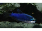 керри супер блю (inpaichthys kerri super blue)