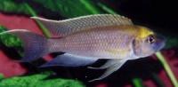 Лампрологус калиурус (Lamprologus calliurus) 3см