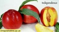 Нектарин Индепендес (Независимость). Подвой Пумиселект, алыча, жардель абрикоса