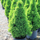 Ель канадская Коника 3х летняя (Picea glauca Conica)