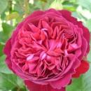 Троянда «Вільям Шекспір»