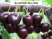 Черешня Валерий Чкалов