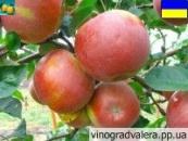 Яблоня зимняя Плесецкого 110-140 см.