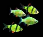 барбус GloFish
