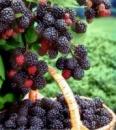Сорт малины Кумберленд