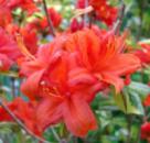 Рододендрон листопадный Фаэрболл 3х летний (Rhododendron Fireball)