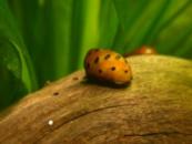 Улитка Неритина красноточечная Neritina natalensis «Red Spotted»