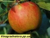 Яблоня Катерина 110-140 см.