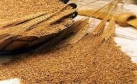 Семена озимой пшеницы Краевыд