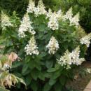 Гортензия метельчатая Киушу (Hydrangea paniculata Kyushu) 2х летняя