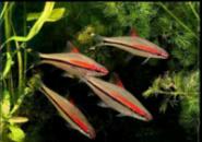 Барбус денисони (лат.Puntius denisonii или краснолинейный барбус) 4,5-5,5см