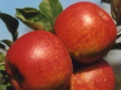 саженцы яблони топаз