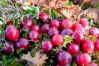 Плодово-ягодные культуры с ЗКС