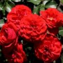 Роза Кордула. Cordula