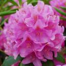 Рододендрон гибридный Розеум Элеганс 2х летний (Rhododendron Roseum Elegans)