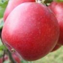 Яблоня Красномясая «Джерси» (осенний сорт)