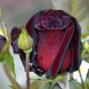 Саженцы чайно-гибридных роз Блек Баккара (Black Baccara)
