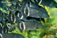 Гнатонем Петерса,рыба слон или нильский слоник (Gnathonemus petersii) 17см