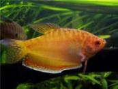 Гурами золотой (Trichogaster sp.) 5-6см