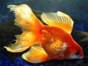 Золотая рыбка Вуалехвост (CARASSIUS AURATUS)