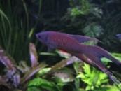 Макропод черный (Macropodus concolor) 4-5см