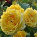 Роза вьющиеся «Golden Gate» (Голден Гейт), саженец, 20 см
