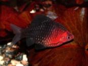барбус Чёрный (Pethia nigrofasciatus) 2см