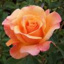 Саженцы розы чайно-гибридной Лолита (Lolita)