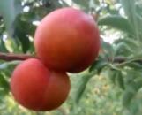 Слива Персиковая