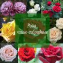 Розы Чайно - гибридные