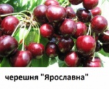 Саженец черешни «Ярославна» 2 года