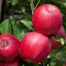 Яблоня Гала Шнига Шнико Ред (Gala Shnіga Shnіko Red)