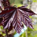 Клен остролистный Кримсон Сентри, Acer platanoides Crimson Sentry
