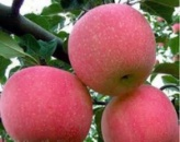 Яблуня суперсолодка « Фуджі »