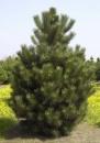 Сосна черная австрийская, 250 см