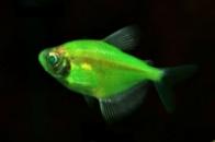 тернеция GloFish мятный леденец