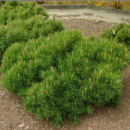 Сосна горная Пумилио (Pinus mugo Pumilio) 4х летняя