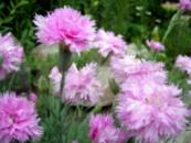 гвоздика розовая полная