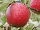 Яблуня «Катя»