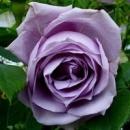 Роза плетистая «Blue Moon Climbing» (Блю Мун Плетистый), саженец, 20 см