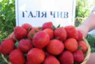 Клубника Галя Чив