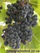 Виноград Изабелла (вегетирующий саженец) Черенок 20 грн.|escape:'html'