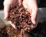 Красный калифорнийский червь|escape:'html'