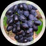 Столовый виноград «Кубань» escape:'html'