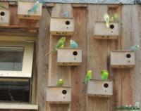 Волнистый попугай|escape:'html'