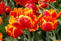 тюльпан|escape:'html'