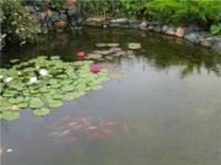 водные растения, немфии, водяная лилия, цветные кувшинки, водяной гиацинт, питомник водных растений, лотос|escape:'html'
