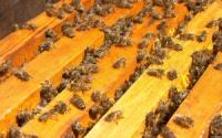 Пчелопакеты карпатской породы 3+1|escape:'html'